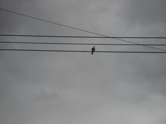 Birdonawire_3